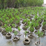 Cayman Island Red Mangrove Nursery