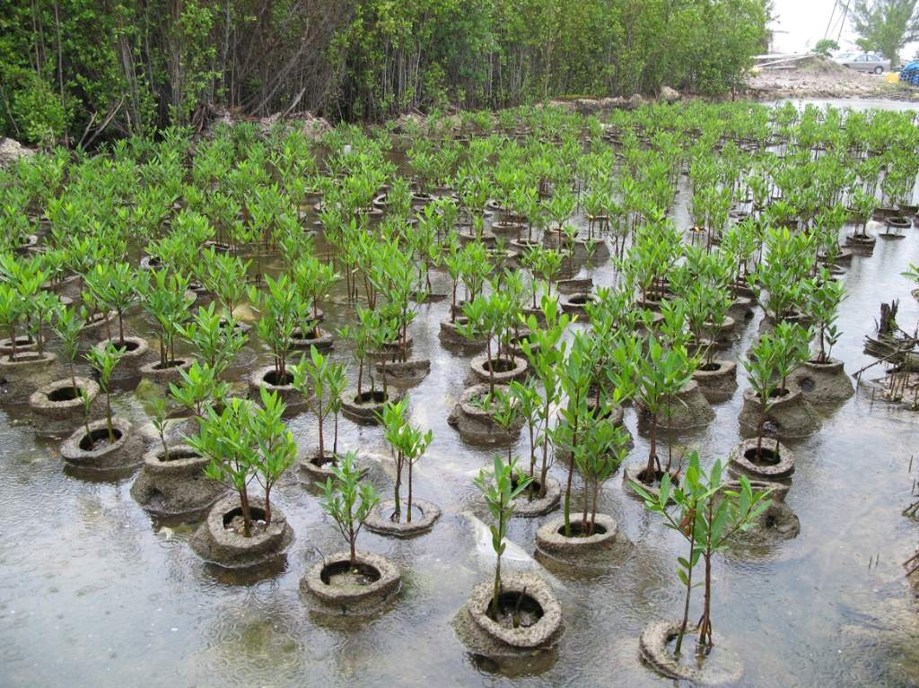 Cayman Island Red Mangrove Nursery